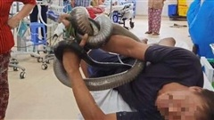 Rắn hổ mang chúa cắn người ở Tây Ninh: Con kêu chạy, ba cố bắt bán lấy tiền học cho con