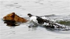 Vượt sông, sư tử suýt thành mồi ngon cho cá sấu