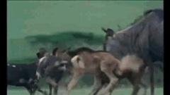 Bắt linh dương con, cả bầy chó hoang châu Phi nhận cái kết thảm