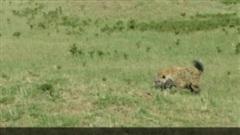 Đàn sư tử thuộc 'Bộ tứ ngự lâm quân' bị bầy linh cẩu tấn công: Chiêu 'lấy thịt đè người' có thành công?