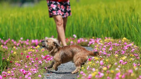 [Ảnh] Con đường hoa mười giờ len lỏi giữa đồng lúa xanh đẹp như tranh ở Sài Gòn
