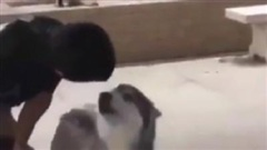 Lần đầu đi bơi, chú chó Husky có phản ứng đặc biệt khiến dân mạng cười bò