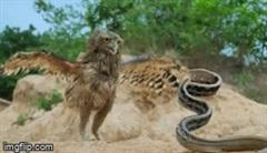 Rắn dọc dưa tung cú đớp nhanh như cắt khiến cú mèo không kịp trở tay