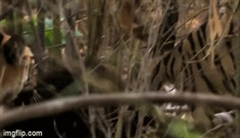 Lỡ đi nhầm vào lãnh địa của bầy hổ, gấu lợn bị kẻ săn mồi xé xác trong nháy mắt