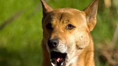 Tưởng đã tuyệt chủng 50 năm, loài chó 'biết hát' bất ngờ tái xuất ở New Guinea
