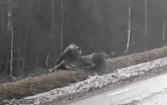 Lợi dụng nai sừng tấm bị thương, gấu nâu chớp thời cơ xẻ thịt con mồi