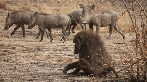Khỉ đầu chó chủ quan bị lợn rừng xơi tái
