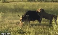 """Rủ đồng loại """"đánh hội đồng"""" trâu rừng, sư tử đực bị con mồi húc thủng đùi"""