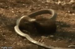 Cầy Mangut dùng kỹ năng đặc biệt, cắn nát đầu rắn hổ mang chúa