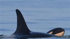 Cá voi sát thủ từng ôm xác con đi khắp đại dương trong suốt 17 ngày đã sinh con mới