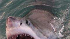 Tưởng bị giành xác cá voi, cá mập trắng hung hãn hai lần lao lên cắn thuyền ngư dân