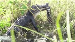 Cá sấu tấn công trăn khổng lồ đến chết