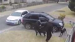 2 chú chó quật ngã kẻ cướp cứu chủ nhân trước cửa nhà