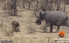 Cả gan chọc điên voi khổng lồ, trâu rừng nhận cái kết đắng chát