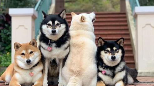 Ai cũng có một người bạn thế này: Cả nhóm 'pose' ảnh sành điệu, chú chó Shiba luôn một mình một kiểu, báo hại chẳng có ảnh tập thể nào ra hồn