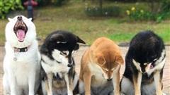 Chú chó Shiba được mệnh danh 'vua phá sóng' mỗi lần chụp ảnh chung với hội anh em