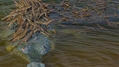 Sự thật bất ngờ đằng sau bức ảnh ông bố cá sấu 'shipper' chở hàng trăm con non: Thân trai 12 bến nước là đây