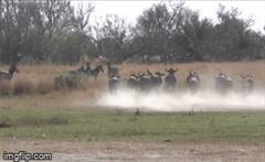 """Lọt vào tầm ngắm của báo săn, đàn linh dương đầu bò """"đánh phủ đầu"""" khiến kẻ săn mồi hoảng hốt bỏ chạy"""
