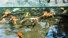 Chiêm ngưỡng đàn cá koi hàng chục tỷ đồng của đại gia Hà thành: Toàn cực phẩm hiếm có khó tìm, có con tới 120 triệu đồng