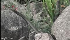 Thấy rắn độc nhăm nhe đàn con non, thằn lằn bóng mẹ lao tới cắn tới tấp kẻ săn mồi