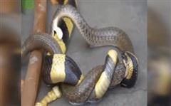 Dám cắn trả rắn cạp nong phun nọc độc, rắn nước nhận cái kết bi thảm
