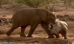 """Cuộc chiến kinh hoàng giữa 2 """"gã khổng lồ"""" voi rừng và tê giác"""