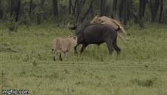 Thấy đồng loại bị sư tử quật ngã, đàn trâu rừng kéo tới tấn công kẻ săn mồi khiến chúa tể vùng đồng bỏ phải bỏ chạy