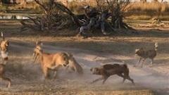 Sư tử mẹ một mình chiến đấu với đàn chó hoang để bảo vệ con non