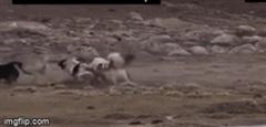 Đơn độc đối đầu 6 chó nhà, chó sói an toàn nhờ ngón đòn hiểm