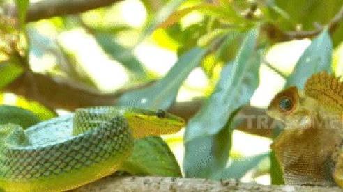 Thằn lằn vừa thoát 'cửa tử' của rắn đuôi đỏ thì đụng độ rết độc: Liệu nó có sống?