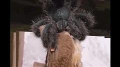 Rùng mình xem nhện khổng lồ nuốt chửng một con chim