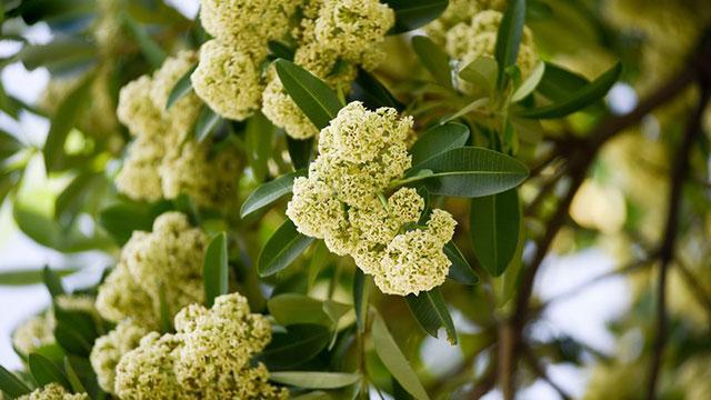 Chùm ảnh: Hà Nội lãng mạn mùa hoa sữa đầu thu, mùi hương thoang thoảng nhiều góc phố