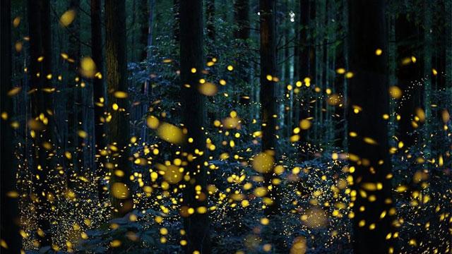 Choáng ngợp trước vẻ đẹp huyền ảo trong những khu rừng đom đóm