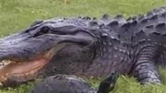 Cú thoát hiểm ngoạn mục của rùa từ hàm cá sấu