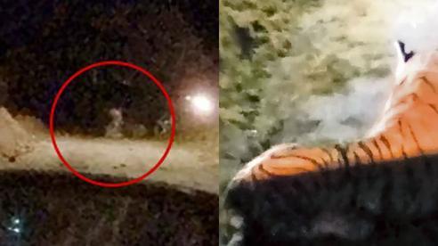 Hay tin hổ xuất hiện đe dọa 200 con bò, cảnh sát có mặt tại hiện trường, mất 45 phút chuẩn bị rồi chưng hửng với con vật trước mặt