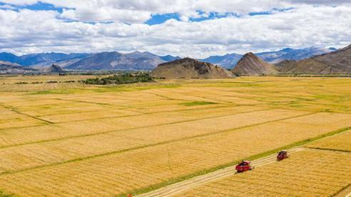Những hình ảnh tuyệt đẹp của 'vựa lúa Tây Tạng' trong mùa thu hoạch
