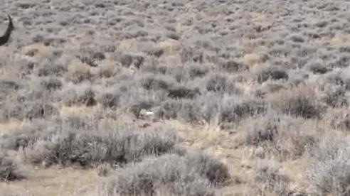Tưởng bỏ mạng dưới móng vuốt đại bàng, thỏ rừng thoát chết khó tin