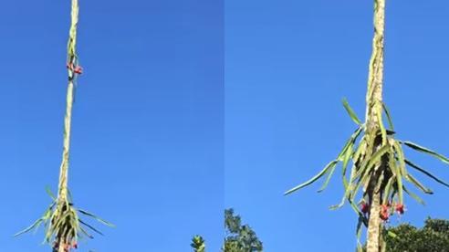 Trồng được cây thanh long ra hoa kết trái kiểu 'ngất ngưởng', chủ vườn cứ thế nghẹn ngào nhìn quả chín từ phía xa