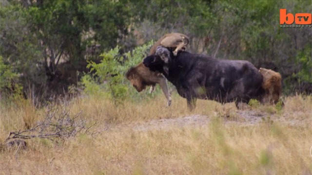 Bị 2 con sư tử đực tấn công, trâu rừng có hành động khiến 'nhà vua' khiếp vía bỏ chạy