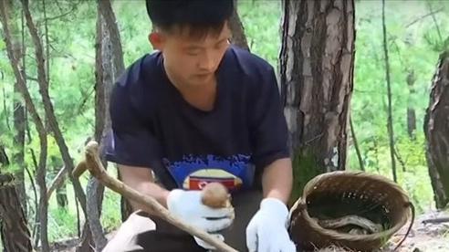 'Săn' nấm quý hiếm trên núi Triều Tiên