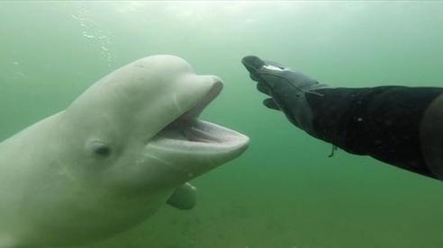 Cuộc chạm trán bất ngờ giữa thợ lặn và cá voi Beluga