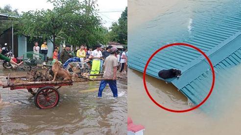 Hàng trăm con vật được cứu khỏi vùng ngập khiến nhiều người cảm động, dân mạng cấp bách lan truyền hình ảnh chú chó nằm trên 'nóc lũ' chờ trợ giúp