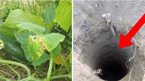 Thấy chồng chăm chỉ trồng dưa chuột ngoài đồng và hay đi thăm nom, vợ không ngờ rằng sâu dưới lòng đất lại ẩn chứa tội ác của anh ta