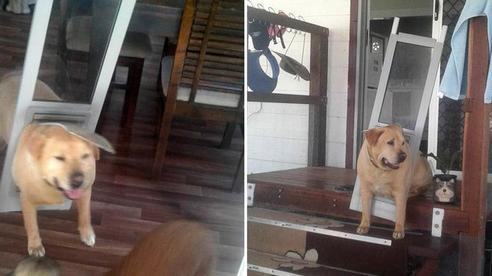 Chú chó 'cõng' cả cánh cửa trên lưng chạy rối rít ngoài đường, ai cũng ngạc nhiên rồi cười lăn cười bò khi biết lý do
