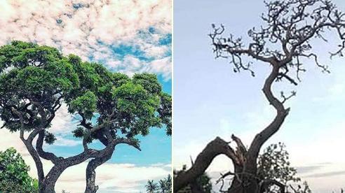 Cây phong ba cô đơn trên đảo Bé - Lý Sơn bị bão số 9 đánh gãy, ai cũng tiếc ngẩn ngơ cho một kỳ quan thiên nhiên tuyệt đẹp