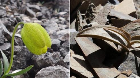 Bị thu hái quá đà, loại cây này phải tiến hóa khả năng 'ngụy trang' để trốn tránh con người