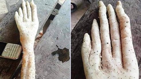 Củ khoai kỳ lạ có hình dáng giống bàn tay người khổng lồ khiến cộng đồng mạng xôn xao