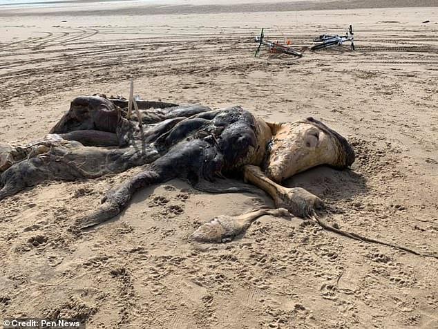 Sinh vật lạ dạt vào bãi biển Mer Jerseyide thu hút sự chú ý của cư dân mạng và cả truyền thông.