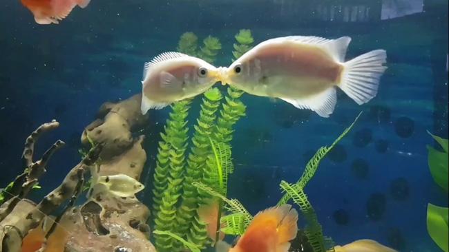 Cá hường có hành động khá kì quặc đó là thường xuyên... hôn môi đồng loại.