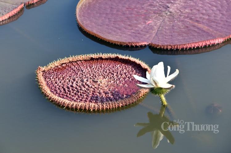Mục thị sen vua khổng lồ bung lá, nở hoa